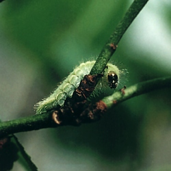 Brown Hairstreak Larva on Prunus