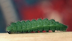 Common Blue larva