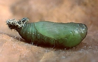 Common Blue Pupa