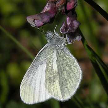 Wood White, the Burren, Clare 16/05/10
