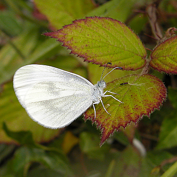 Wood White, Moycullen, Galway, 27//07/08