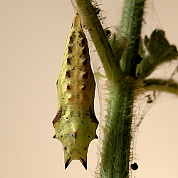Peacock pupa suspended on nettle    © DHardiman 2009