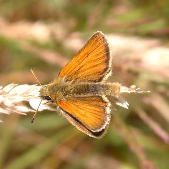 Essex Skipper, Fardystown, Wexford, 2007. Note the diffuse black border. On the Small Skipper this black border is well defined.