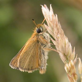 Essex Skipper, Fardystown, Wexford, 2007. Note the black tip of the ventral surface of (R) antenna, (L) not seen here. These ventral tips are orange or brown on the Small Skipper.