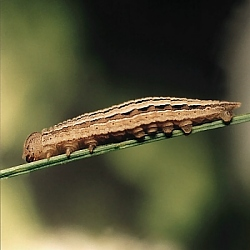 Grayling caterpillar, click for larger image