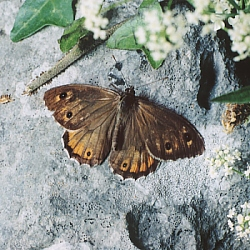 Male Grayling, Burren, Co Clare 2003