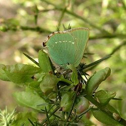 Green Hairstreak on Bilberry, Tyrrells Pass, Westmeath, ©  DHardiman '06