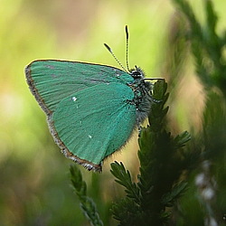 Green Hairstreak, Co Wicklow ©  DHardiman '08