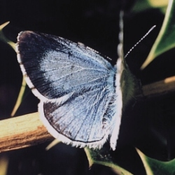 Female Holly Blue, DHardiman 2003