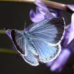 Female Holly Blue, summer brood. © DHardiman