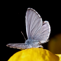 Male Holly Blue, DHardiman 2005