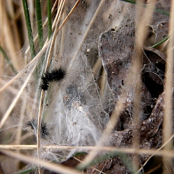 Abandoned Marsh Fritillary web with exuviae, Lullymore, March '05