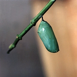Monarch Pupa, click for larger image