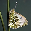 Female Orange Tip butterfly © DHardiman