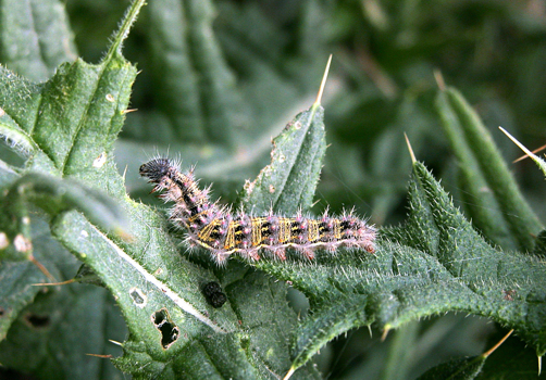 Painted Lady caterpillar   © D Hardiman
