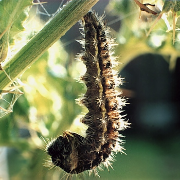 J-shaped larva of Painted Lady   © D Hardiman