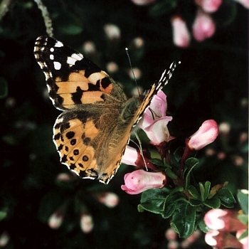 Painted Lady   © D Hardiman