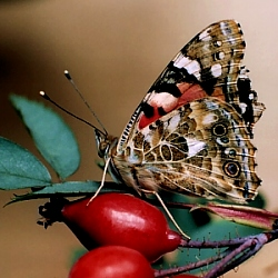 Painted Lady © DHardiman