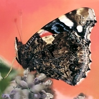 Red Admiral Butterfly. Baurscoob, Co Kilkenny 2001