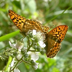 Silver-washed Fritillary, Sth. Mooghaun Wood, Limerick. 14th July '05