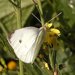 Small White Butterfly, Nth Co. Dublin, August '05