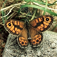 Wall Brown butterfly. Ringsend, Dubllin. 2002